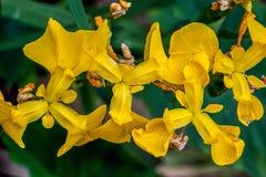 Iris pseudacorus von oben Lizenzfreie Stockfotografie