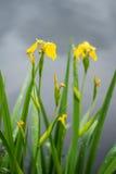 Iris pseudacorus yellow flowers royalty free stock photo