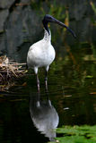 iris ptaka zdjęcie stock