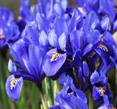 Iris pumila. Blue flowers in a garden Royalty Free Stock Photos