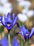 Iris pumila Stock Image