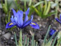 Iris pumila Stockfoto