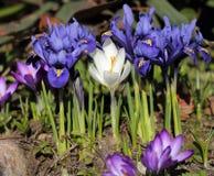 Iris pumila Lizenzfreie Stockfotografie