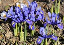 Iris pumila Lizenzfreies Stockbild