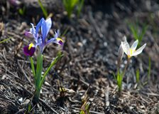 Iris pumila Lizenzfreie Stockbilder