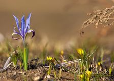Iris pumila die Göttin des Regenbogens, der als ein Bote der Götter auftrat Stockfoto
