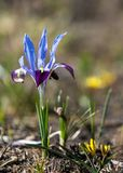 Iris pumila die Göttin des Regenbogens, der als ein Bote der Götter auftrat Lizenzfreie Stockfotografie