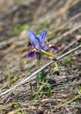 Iris pumila die Göttin des Regenbogens, der als ein Bote der Götter auftrat Stockfotografie