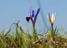 Iris pumila die Göttin des Regenbogens, der als ein Bote der Götter auftrat Stockbild