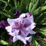Iris, Purple Flower, Purple Iris Stock Photo
