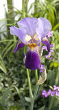 Iris. Purple spring bearded iris in garden. Vertical Royalty Free Stock Images