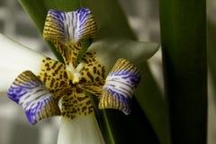 Iris que camina: Blanco/púrpura, planta del apóstol Fotos de archivo