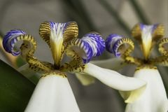 Iris que camina: Blanco/púrpura, planta del apóstol Fotos de archivo libres de regalías