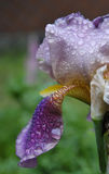 Iris after a rain. Beautiful photos of iris after a rain Royalty Free Stock Photos