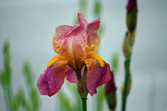 Iris after the Rain royalty free stock image