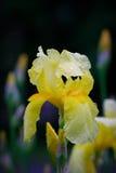 Iris after rain. Royalty Free Stock Photo