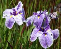 Iris rayé pourpré et blanc vibrant Photos stock