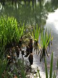 Iris reeds and cypress knees royalty free stock photo