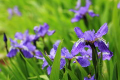 Iris. Is regarded as the kingdom of the French kingdom. It is called the `rainbow` of the Greek language, which is rich in color, blue, purple, yellow, white Royalty Free Stock Photos