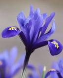 Iris Reticula Stock Photo