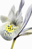 Iris reticulata � Closeup Royalty Free Stock Image