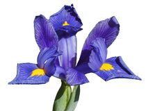 Iris reticulata Lizenzfreie Stockbilder