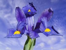 Iris reticulata Stockfotografie