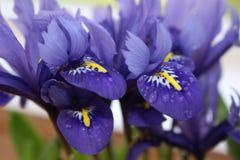 Iris reticulata Stockbilder