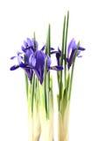 Iris reticulata Stock Images