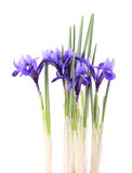 Iris reticulata Royalty Free Stock Photos