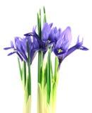 Iris reticulata Lizenzfreies Stockfoto