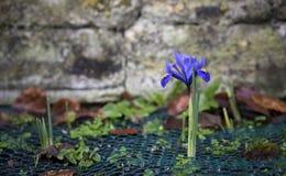 Iris reticulata Stockfoto