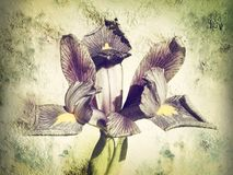 Iris reticulata floral texture effect royalty free stock photography