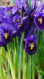 Iris Reticulata Flowers Stockbild