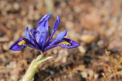 Iris reticulata (goldene netzförmige Iris) im Frühjahr Lizenzfreie Stockfotos