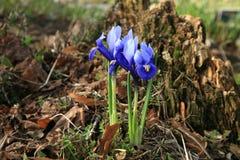 Iris reticulata harbinger of spring. Stock Images