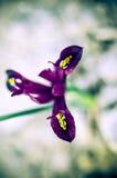 Iris reticulata Iridodictyum auf niedriger Schärfentiefe des Blumenbeets Stockfotografie