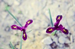 Iris reticulata Iridodictyum auf niedriger Schärfentiefe des Blumenbeets Stockbilder