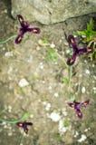 Iris reticulata Iridodictyum auf niedriger Schärfentiefe des Blumenbeets Lizenzfreies Stockbild