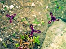 Iris reticulata Iridodictyum auf niedriger Schärfentiefe des Blumenbeets Lizenzfreies Stockfoto