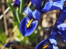 Iris reticulata Iridodictyum, das in den wild lebenden Tieren wächst Makro Stockbilder