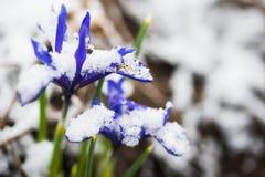 Iris reticulata Iridodictyum Stock Images