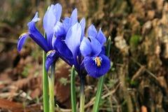 Iris reticulata Vorbote des Frühlinges Stockfotografie