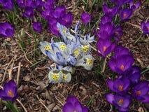 Iris Reticulatas branca e azul e açafrões roxos que florescem no jardim na mola Foto de Stock