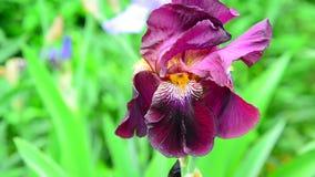 Iris rosado en el primer de la cama de flor almacen de video