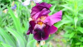 Iris rosado en el primer de la cama de flor metrajes