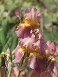 Iris rosados Imagenes de archivo