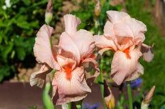 Iris rose dans le jardin Photos stock