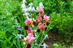 Iris rose dans le jardin Photo libre de droits