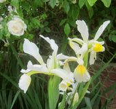 Pale Iris flowers and a rose. Some Iris blooms, with a light pink almost white rose just behind them royalty free stock photography